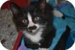 Domestic Shorthair Kitten for adoption in Edwardsville, Illinois - Groucho
