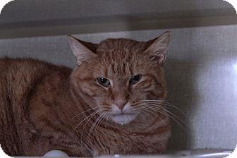 Domestic Shorthair Cat for adoption in Chicago, Illinois - Gordo