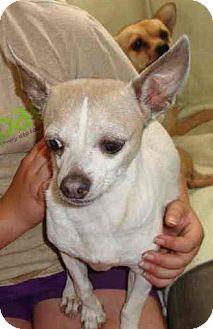 Chihuahua Dog for adoption in Leesport, Pennsylvania - PEANUT