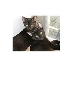 Domestic Shorthair Cat for adoption in Brooklyn, New York - Mustang