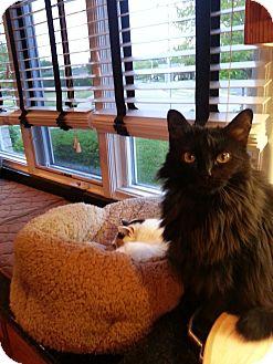 Domestic Mediumhair Cat for adoption in Orland Park, Illinois - Kiki