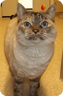 Siamese Cat for adoption in Grants Pass, Oregon - Chelsea
