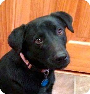 Labrador Retriever/German Shepherd Dog Mix Puppy for adoption in Preston, Connecticut - Paige