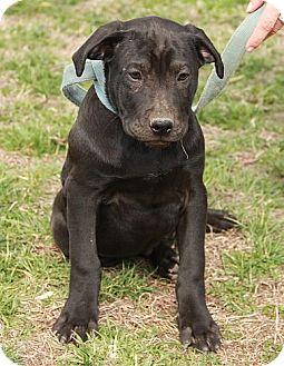American Bulldog/Labrador Retriever Mix Dog for adoption in Windham, New Hampshire - Larry Luke !!$300 Adoption!!