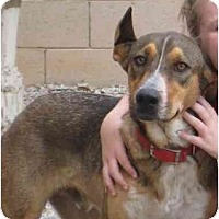 Adopt A Pet :: Meadow - Chandler, AZ