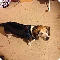 Adopt A Pet :: Bingo - Rancho Cordova, CA