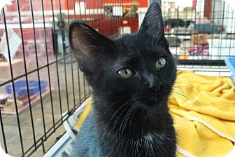 Domestic Shorthair Kitten for adoption in Elyria, Ohio - Skeeter