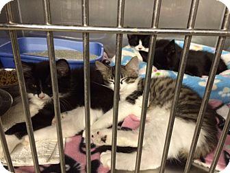 Domestic Mediumhair Kitten for adoption in Byron Center, Michigan - Sas