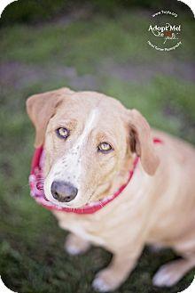 Labrador Retriever/Golden Retriever Mix Dog for adoption in Kingwood, Texas - Belle