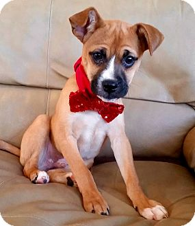 Boxer Mix Puppy for adoption in Hockessin, Delaware - Oliver