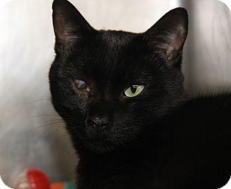 Domestic Shorthair Cat for adoption in Marietta, Ohio - Shadow (Spayed)