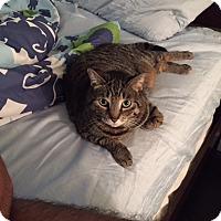 American Shorthair Cat for adoption in New York, New York - Maya