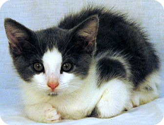 Domestic Shorthair Kitten for adoption in Newland, North Carolina - Grey Pants