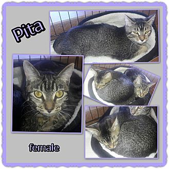 Domestic Shorthair Cat for adoption in Richmond, California - Pita