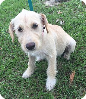 Terrier (Unknown Type, Medium)/Labrador Retriever Mix Puppy for adoption in Houston, Texas - Kiki