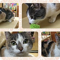 Calico Cat for adoption in Okotoks, Alberta - Tina