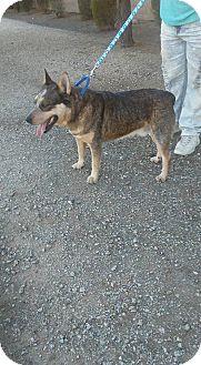 Australian Cattle Dog Dog for adoption in Phoenix, Arizona - Beefy