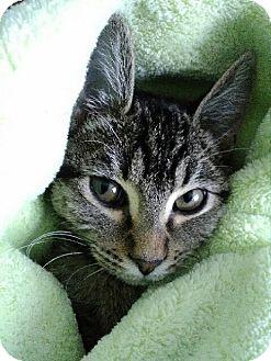 Domestic Shorthair Kitten for adoption in Meridian, Idaho - Bizzy