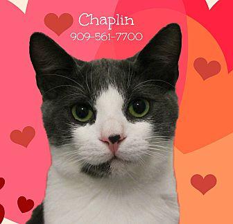 Domestic Shorthair Cat for adoption in Monrovia, California - A Sweet Pair: CHAPLIN & Maggie