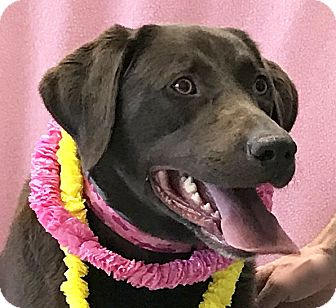 Labrador Retriever Mix Dog for adoption in Evansville, Indiana - Coco