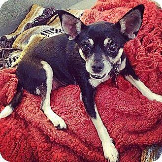 Chihuahua Mix Dog for adoption in Los Angeles, California - Trixie