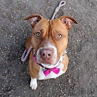 Adopt A Pet :: Ginger - Hoffman Estates, IL