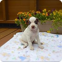 Adopt A Pet :: Bo - available 6/28 - Sparta, NJ