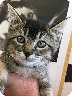 Domestic Shorthair Kitten for adoption in Meridian, Idaho - Genevieve