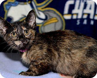 Domestic Shorthair Kitten for adoption in Medina, Ohio - Sissy