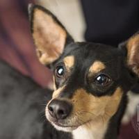 Adopt A Pet :: Rocky - Waco, TX