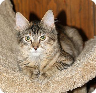 Domestic Mediumhair Kitten for adoption in Attalla, Alabama - Flossy