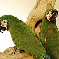 Macaw for adoption in Elizabeth, Colorado - Jason
