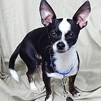 Adopt A Pet :: Boomer (8 lb) Loving Boy - Twinsburg, OH