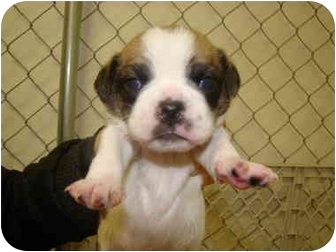 Pug/Beagle Mix Puppy for adoption in Vandalia, Illinois - Buster