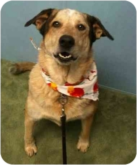 Australian Cattle Dog Mix Dog for adoption in Auburn, California - Mo