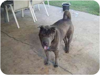 Shar Pei Dog for adoption in Haughton, Louisiana - Chester