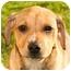 Photo 1 - Labrador Retriever/Beagle Mix Puppy for adoption in Marina del Rey, California - Luka