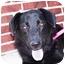 Photo 1 - Golden Retriever/Flat-Coated Retriever Mix Dog for adoption in Marion, Arkansas - Bogart - URGENT