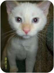 Siamese Kitten for adoption in Appleton, Wisconsin - Hef