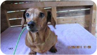 Dachshund/Dachshund Mix Dog for adoption in Commerce, Georgia - Lily