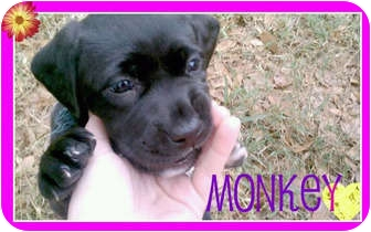 Labrador Retriever/American Pit Bull Terrier Mix Puppy for adoption in Orlando, Florida - Monkey