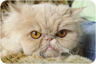 """Persian Cat for adoption in Columbus, Ohio - Coq au Vin aka """"Coca"""""""