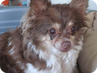 Chihuahua Mix Dog for adoption in San Diego, California - Traci