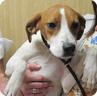 Terrier (Unknown Type, Medium)/Beagle Mix Dog for adoption in Beacon, New York - Grace