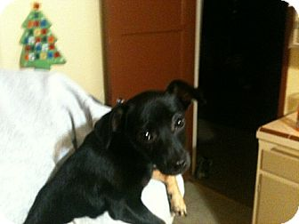 Chihuahua Mix Puppy for adoption in Corona, California - ANGIE