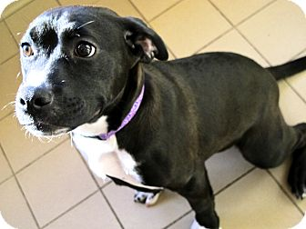 American Pit Bull Terrier Mix Dog for adoption in Jackson, Michigan - Mara