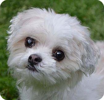 Maltese Mix Dog for adoption in Allentown, Pennsylvania - Charlie *adopt fee $350
