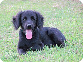Cocker Spaniel/Labrador Retriever Mix Puppy for adoption in Bedminster, New Jersey - SHADA
