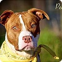 Adopt A Pet :: Peanut - Flowery Branch, GA