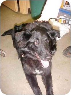 Collie Mix Dog for adoption in Cambridge, Ohio - Buddy